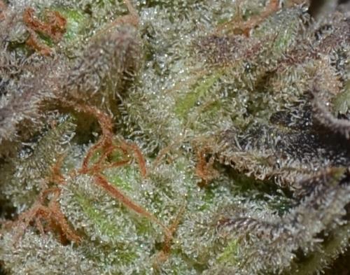 לבנדר אוטומטי - CBD Seeds