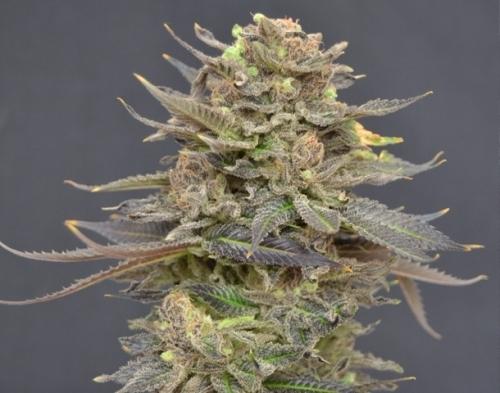מגמה - CBD Seeds