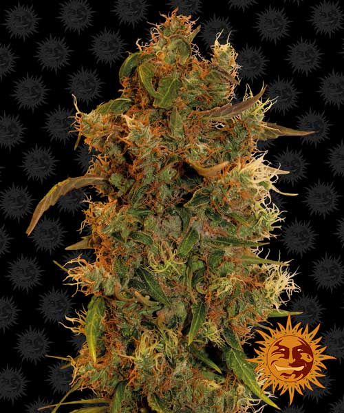 8 Ball Kush - Barneys Farm Seeds