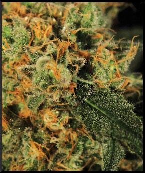 AMS防霉系统 -  Green House Seeds