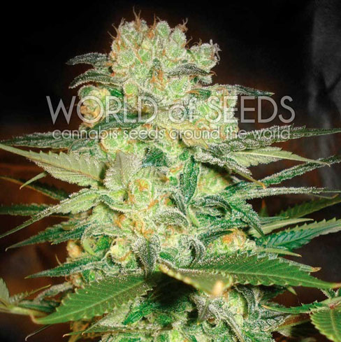 Afghansk kush x hvit enke - World of Seeds