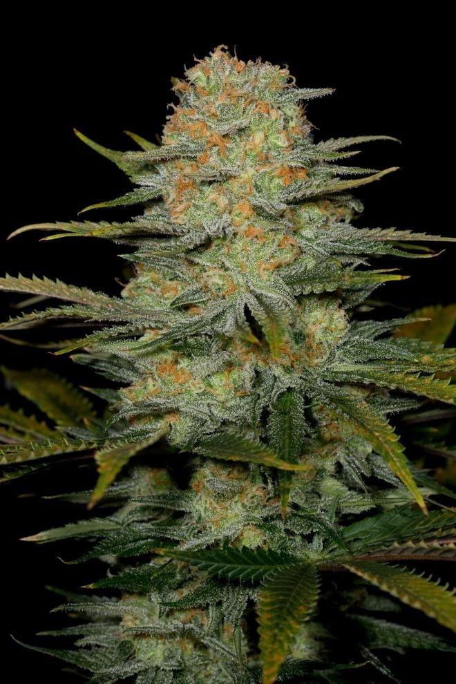 אמנזיה CBD - Dinafem Seeds