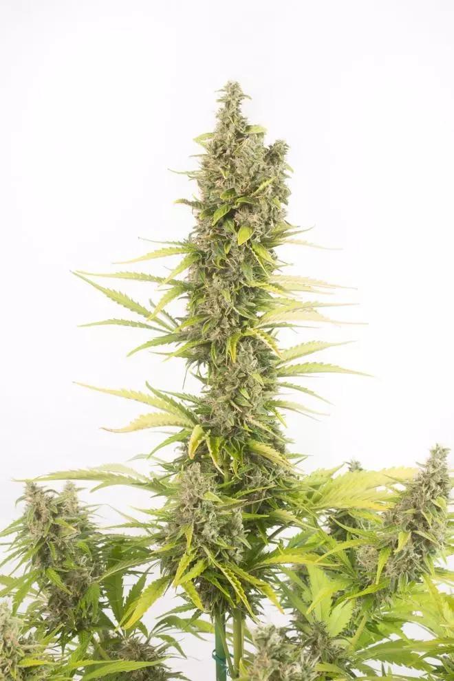 Amnesia CBD Auto  -  Dinafem Seeds