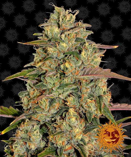 Amnesia Lemon - Barneys Farm Seeds