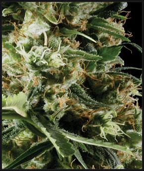 Arjan's Haze 2  -  Green House Seeds
