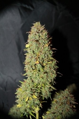 自动白寡妇 -  Seedsman Seeds