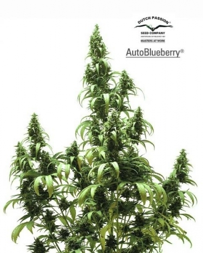 Auto Blueberry - Dutch Passion Seeds