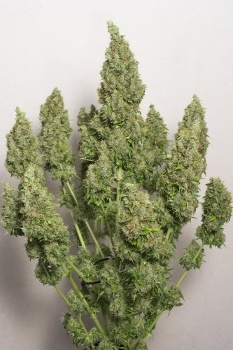 Auto Mazar - Dutch Passion Seeds