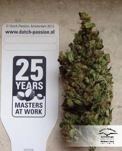 AutoXtreme - Dutch Passion Seeds