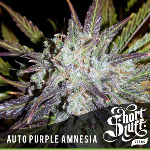 Auto Purple Amnesia - Short Stuff Seeds