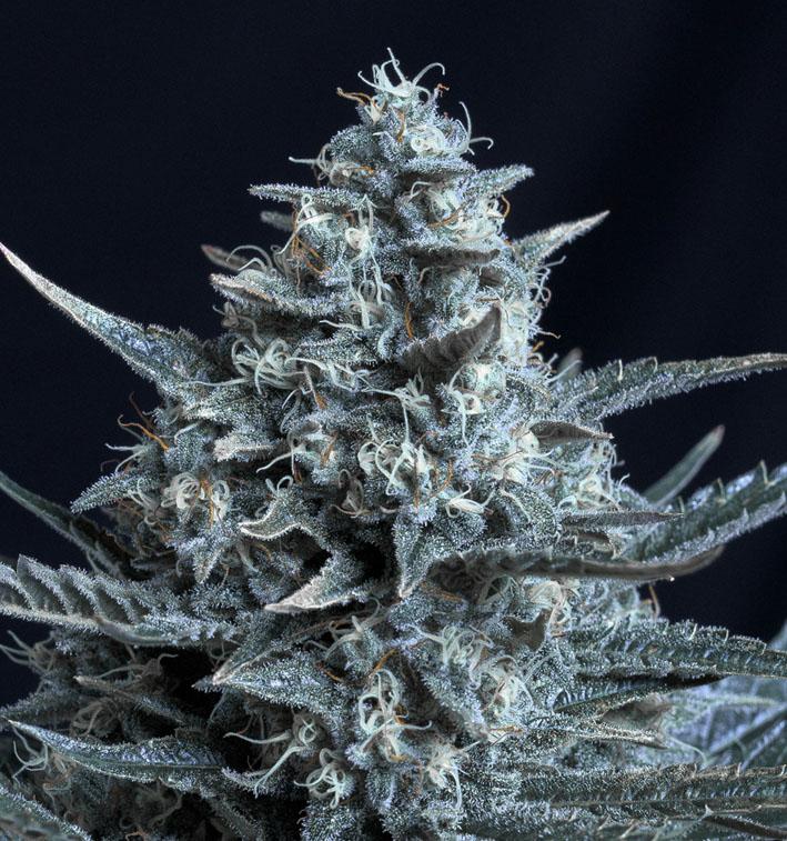 Blubonik - Genehtik Seeds