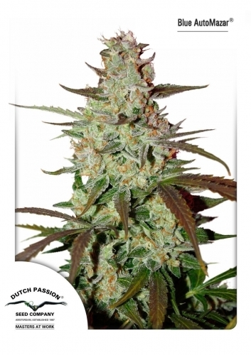 Blue Auto Mazar - Dutch Passion Seeds
