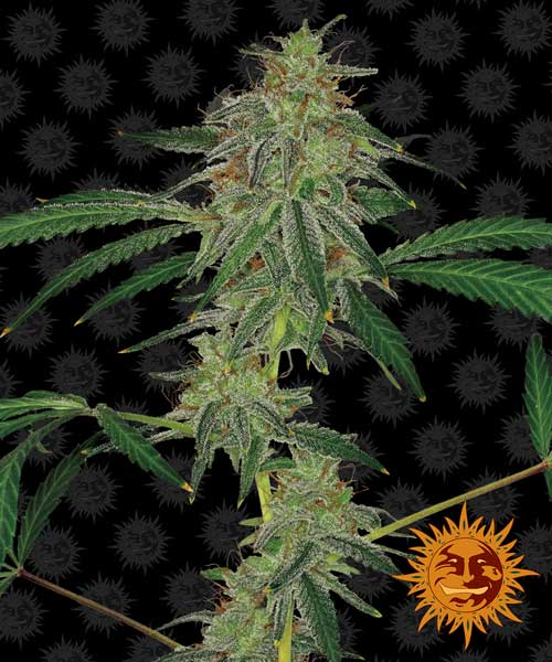 כחול Mammoth Autoflowering - Barneys Farm Seeds