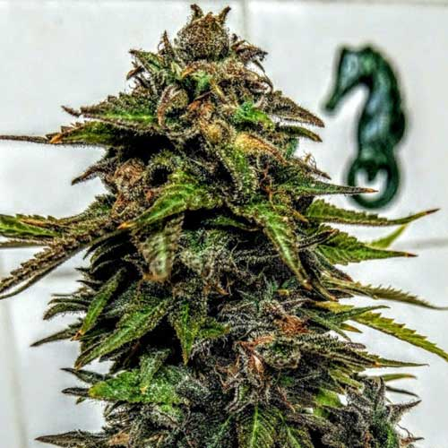 蓝草莓 -  Holy Smoke Seeds