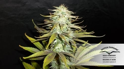 Blueberry - Dutch Passion Seeds