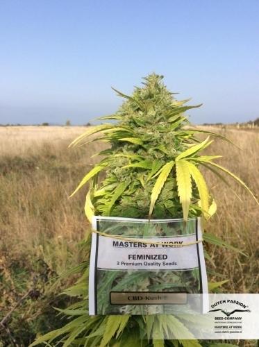 CBD库什 -  Dutch Passion Seeds
