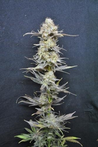CBD Nordle  -  CBD Crew Seeds