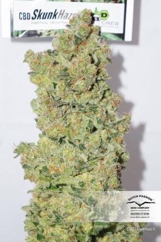 CBD SkunkHaze  -  Dutch Passion Seeds