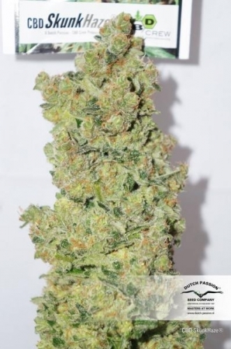 CBD - Dutch Passion Seeds