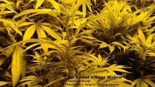 CBD Sweet n Sour Widow  -  CBD Crew Seeds