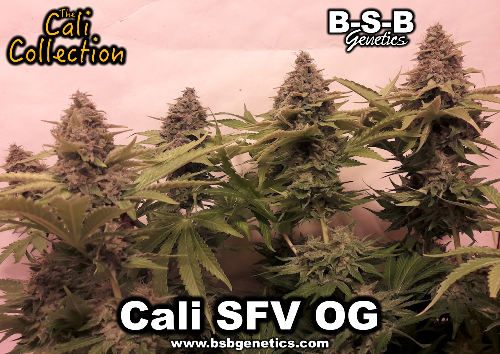 卡利SFV OG-BSB遗传学