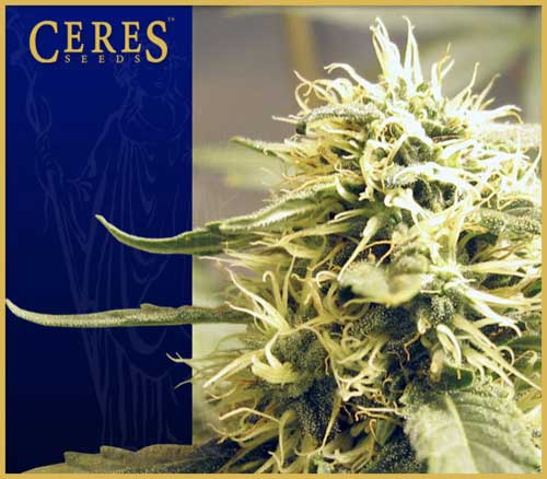 Ceres Kush  -  Ceres Seeds