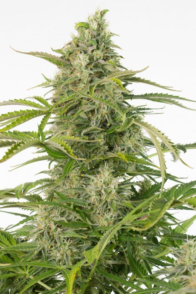 奶酪Autoflowering CBD  -  Dinafem Seeds