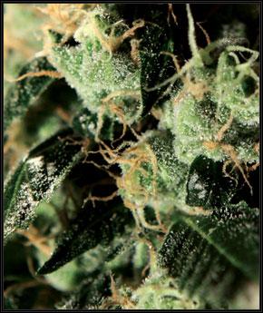 Chemdog  -  Green House Seeds