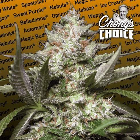 Chong的选择-Auto Kong 4- Paradise Seeds