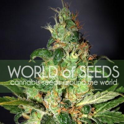 ערפל כרוני - World of Seeds