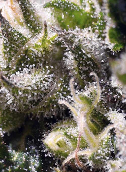Karamellcreme Auto - Sweet Seeds