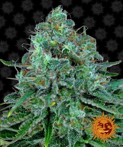 קוש קריטי - Barneys Farm Seeds