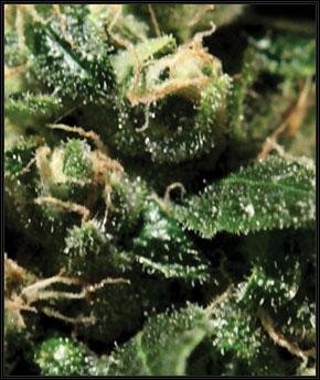 לעזאזל חמוץ - Green House Seeds
