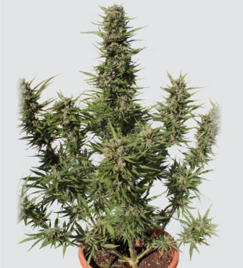 紫库什汽车 -  Buddha Seeds