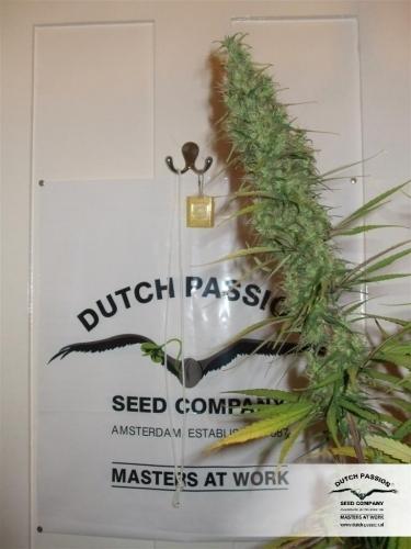 Desfran  -  Dutch Passion Seeds