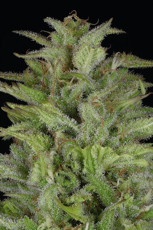 זרעי דון ג'לטו אוטומטית - דון מפולת