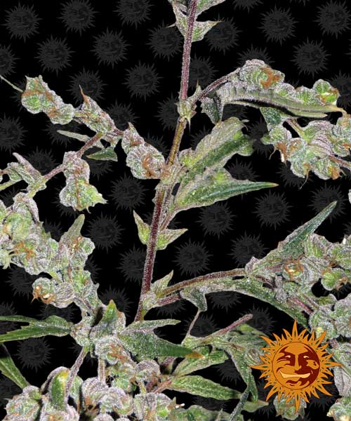 Dr. Grinspoon - Barneys Farm Seeds