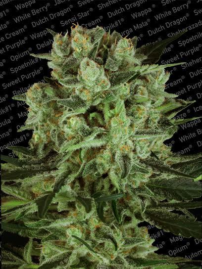 Durga Mata 2 CBD - Paradise Seeds