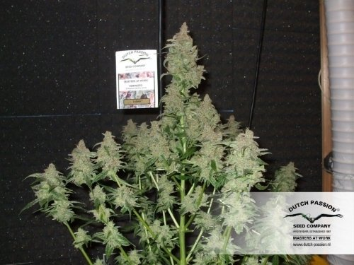 Euforia - Dutch Passion Seeds