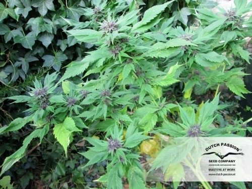 Canard Frison - Dutch Passion Seeds