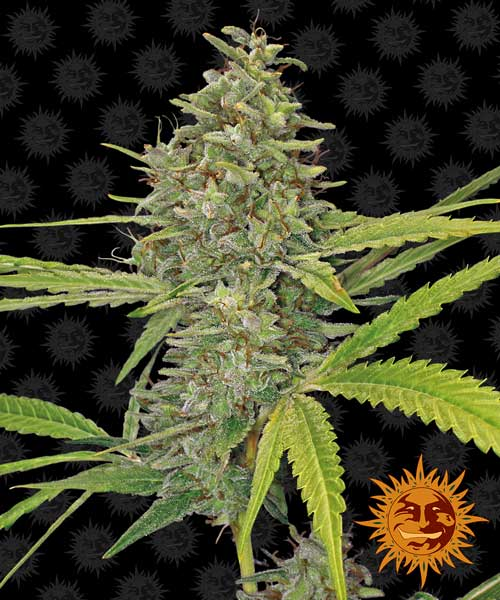 G13ヘイズ -  Barneys Farm Seeds