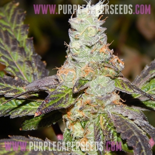 נערה הצופים קוקי F2 - Purple Caper Seeds