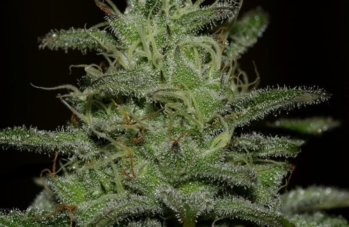 Girl Scout Crack - Seedsman Seeds