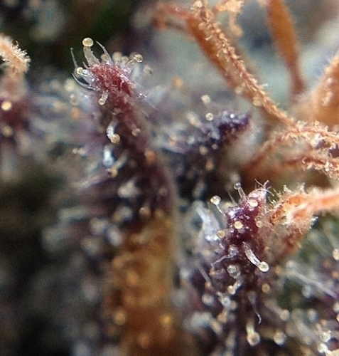葡萄OX  -  Rare Dankness Seeds