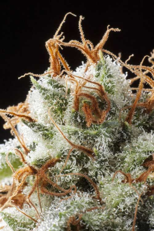 גריזלי קוש - Elemental Seeds