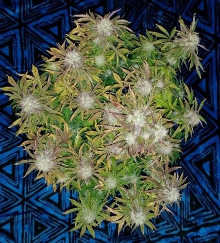 喜马拉雅橙色柴油 -  Short Stuff Seeds