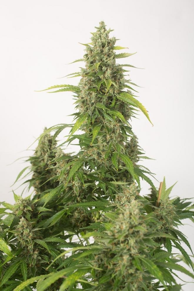 Haze XXL Auto - Dinafem Seeds