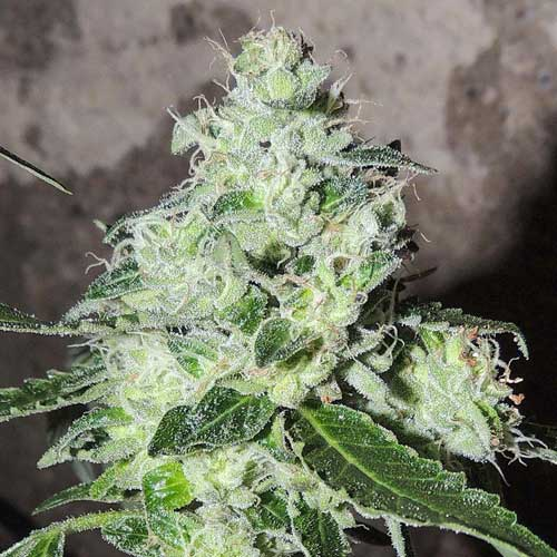 Headbanger  -  Karma Genetics