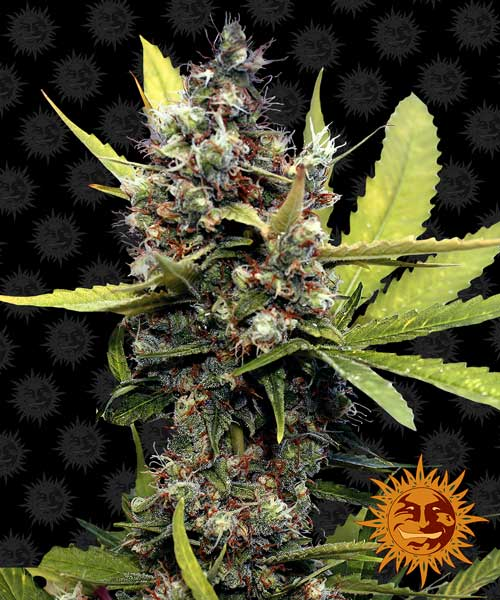 蜂蜜B  -  Barneys Farm Seeds
