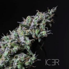 Icer - R-Kiem Seeds